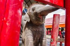 Ayutthaya Tajlandia, Październik, -, 21, 2016: Tajlandzki macierzysty słoń f Obraz Stock