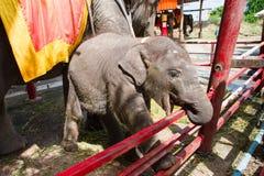 Ayutthaya Tajlandia, Październik, -, 21, 2016: Tajlandzki macierzysty słoń f Zdjęcia Royalty Free