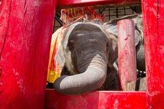 Ayutthaya Tajlandia, Październik, -, 21, 2016: Tajlandzki macierzysty słoń f Zdjęcie Royalty Free