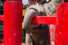 Ayutthaya Tajlandia, Październik, -, 21, 2016: Tajlandzki macierzysty słoń f Fotografia Royalty Free