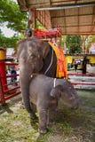 Ayutthaya Tajlandia, Październik, -, 21, 2016: Tajlandzki macierzysty słoń f Obrazy Royalty Free