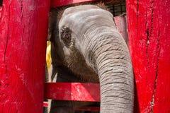 Ayutthaya Tajlandia, Październik, -, 21, 2016: Tajlandzki macierzysty słoń f Obrazy Stock