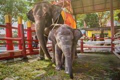 Ayutthaya Tajlandia, Październik, -, 21, 2016: Tajlandzki macierzysty słoń f Fotografia Stock