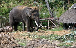 Ayutthaya, Thailand: Bull Elephant Royalty Free Stock Images