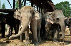 Ayutthaya, Thailand:  Elephant Village Elephants Stock Image