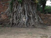 Ayutthaya, twarz w drzewie obraz royalty free