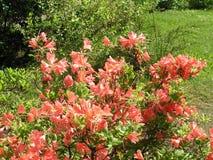 Azálea alaranjada vermelha de Mollis do arbusto fotos de stock