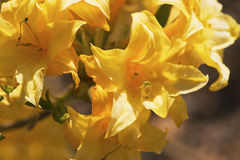 Azálea amarela Fotografia de Stock Royalty Free