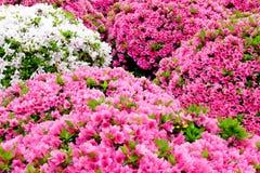 A azálea bonita floresce no santuário de Nezu, Tóquio foto de stock