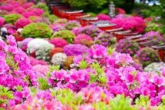 A azálea bonita floresce no santuário de Nezu, Tóquio imagens de stock