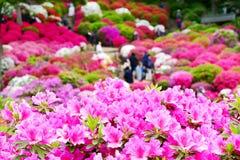 A azálea bonita floresce no santuário de Nezu, Tóquio fotografia de stock royalty free
