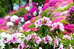 A azálea bonita floresce no santuário de Nezu, Tóquio imagens de stock royalty free