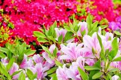 A azálea bonita floresce no santuário de Nezu, Tóquio foto de stock royalty free