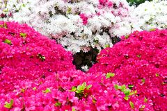 A azálea bonita floresce no santuário de Nezu, Tóquio fotografia de stock