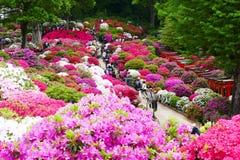 A azálea bonita floresce no santuário de Nezu, Tóquio fotos de stock royalty free