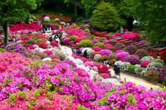 A azálea bonita floresce no santuário de Nezu, Tóquio fotos de stock