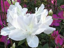 Azálea branca no jardim da mola Fotos de Stock Royalty Free