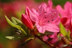 Azálea cor-de-rosa Foto de Stock