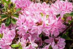 Azálea cor-de-rosa Imagens de Stock