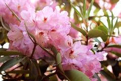A azálea cor-de-rosa floresce com gotas de água nas pétalas no sol Campo da chuva do jardim de Rodendron Fotografia de Stock Royalty Free