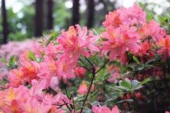 A azálea cor-de-rosa floresce com gotas de água nas pétalas no sol Campo da chuva do jardim de Rodendron Fotos de Stock