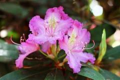 A azálea cor-de-rosa floresce com gotas de água nas pétalas no sol Campo da chuva do jardim de Rodendron Fotografia de Stock