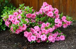 Azálea, membro de florescência dos arbustos do gênero rododendro Foto de Stock Royalty Free