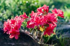 Azálea real cor-de-rosa Foto de Stock