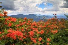 Azáleas alaranjadas Roan Mountain NC TN da chama fotografia de stock royalty free