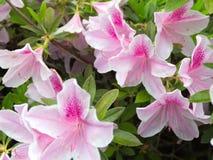 Azáleas brancas e cor-de-rosa bonitas Fotografia de Stock Royalty Free