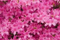 Azáleas cor-de-rosa Foto de Stock Royalty Free