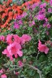 Azáleas cor-de-rosa de florescência Fotografia de Stock Royalty Free