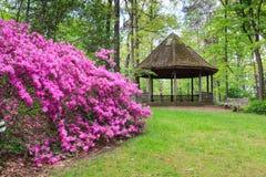Azáleas do jardim da mola Fotos de Stock Royalty Free