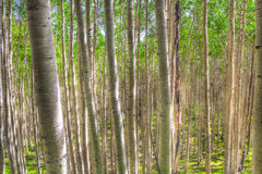 AZ-Coconino National Forest-Inner Basin Trail. The Aspen tree forest on the Inner Basin Trail is magnificent, creating a complex labyrinth Stock Images