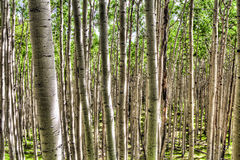 AZ-Coconino National Forest-Inner Basin Trail Royalty Free Stock Image