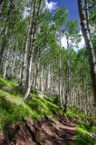 AZ-Coconino National Forest-Inner Basin Trail. The Aspen tree forest on the Inner Basin Trail is magnificent, upon the hillsides Royalty Free Stock Image
