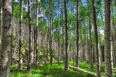 AZ-Coconino National Forest-Inner Basin Trail. The Aspen tree forest on the Inner Basin Trail is magnificent, upon the hillsides Royalty Free Stock Photo