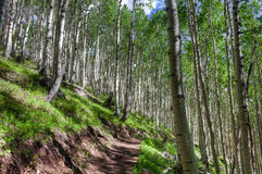 AZ-Coconino National Forest-Inner Basin Trail. The Aspen tree forest on the Inner Basin Trail is magnificent, upon the hillsides Royalty Free Stock Images