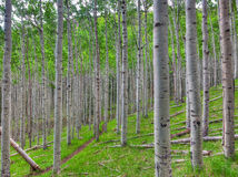 AZ-Coconino National Forest-Inner Basin Trail. The Aspen tree forest on the Inner Basin Trail is magnificent, upon the hillsides Stock Images