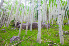AZ-Coconino National Forest-Inner Basin Trail. The Aspen tree forest on the Inner Basin Trail is magnificent, upon the hillsides. This giant boulder created an Royalty Free Stock Photo