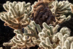 AZ-Picacho Peak-Cholla cactus Stock Images