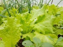 Azada del suelo de la tierra de la comida de las hojas de la agricultura de la lechuga imagen de archivo libre de regalías