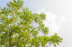 Azadirachta indica boom stock fotografie