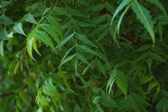Azadirachta indica, g?n?ralement connu comme neem, nimtree ou lilas indien images stock