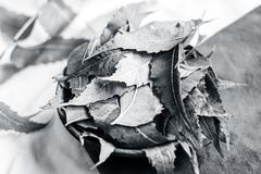 Azadirachta indica, Neem avec ses feuilles dans une cuvette d'argile pour des soins de la peau Image libre de droits
