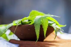Azadirachta indica, Neem avec ses feuilles dans une cuvette d'argile pour des soins de la peau Photos libres de droits