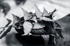 Azadirachta indica, Neem avec ses feuilles dans une cuvette d'argile pour des soins de la peau Images libres de droits