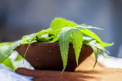 Azadirachta indica,Neem with its leaves in a clay bowl for skin care. Royalty Free Stock Photos