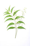 Azadirachta indica -Neem leaves. And flowers on white Stock Images