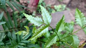 Azadirachta Indica oder neem Blatt Stockfoto